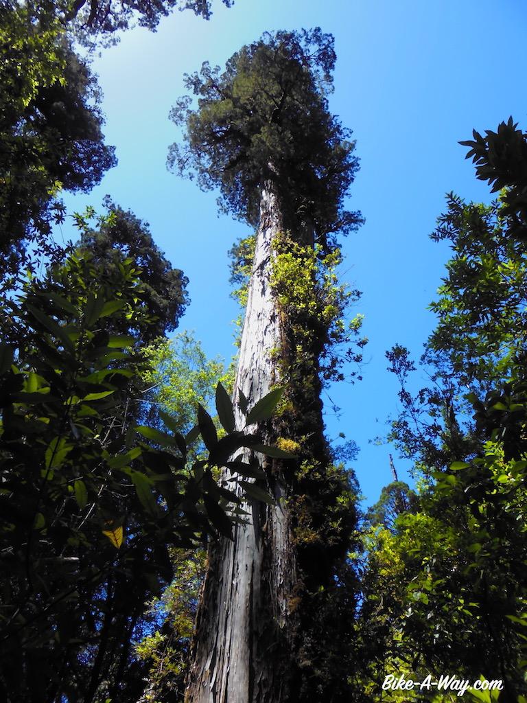Alerce Tree